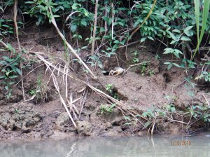 There are many crabs that live in the holes along the river.
